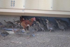 Gallina Guinea o Pintadas de un  mes de vida- Carnes del Corral